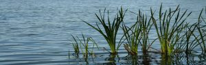 Emergent plants in Central Florida lakes and ponds