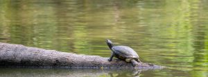 Are Turtles Bad for Your Pond?